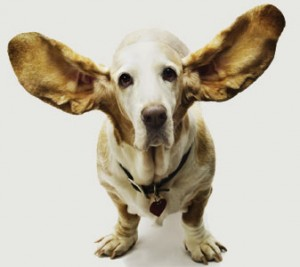 Bassett Hound with ears up, we are all ears, call us